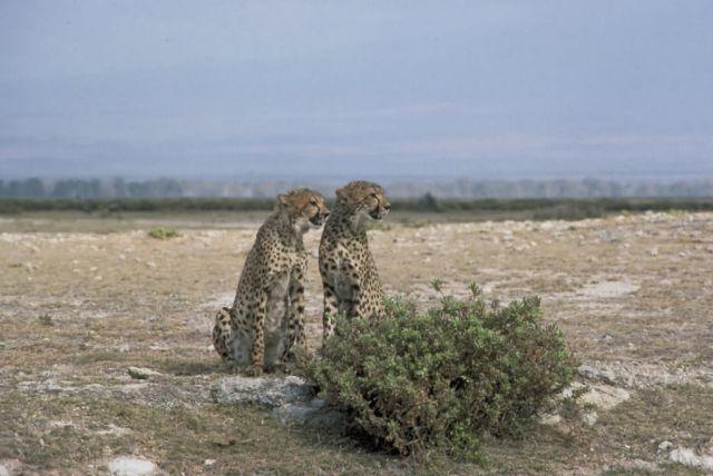 Cheetahs Picture