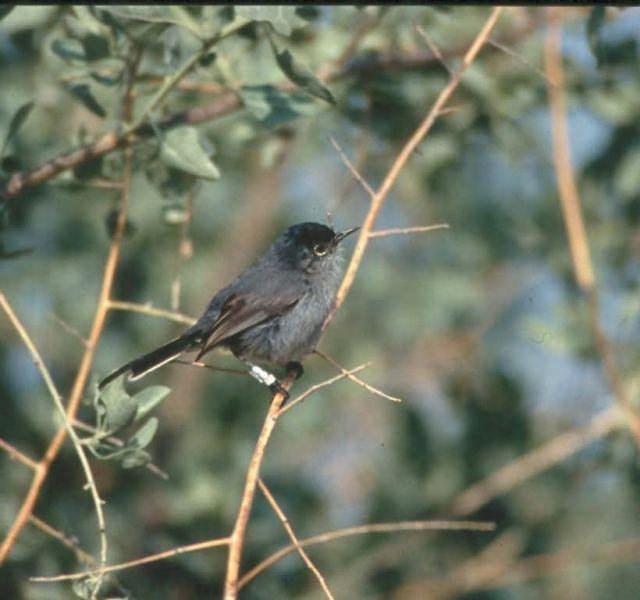 WO4790 California Gnatcatcher Picture