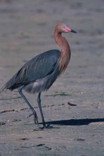 Reddish Egret Photo Picture