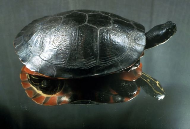 Plymouth Red-bellied Turtle Picture