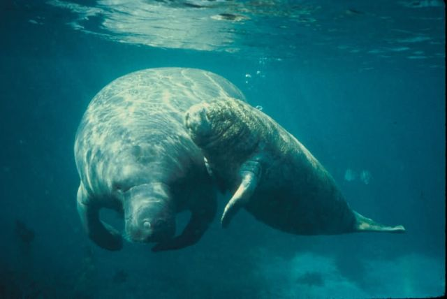 West Indian Manatee (mother and calf) Picture