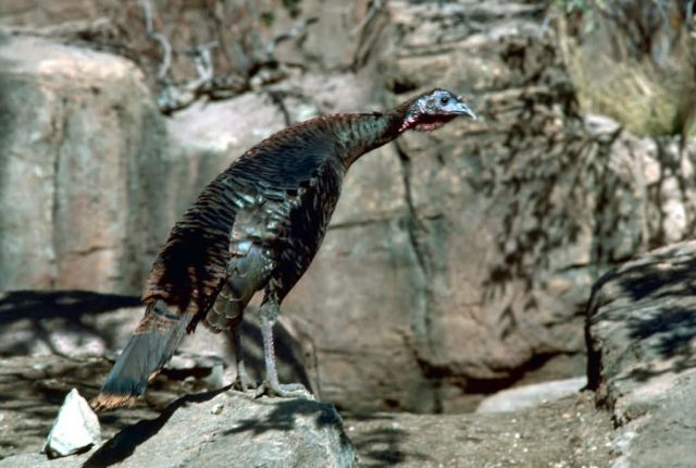 Wild turkey Picture