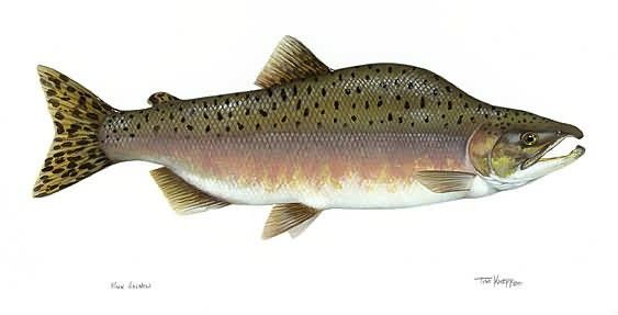 Pink Salmon Picture