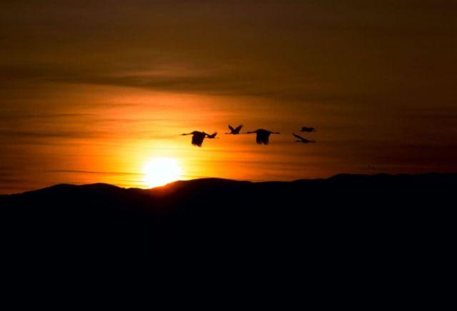 Sandhill Cranes in Sunset Picture