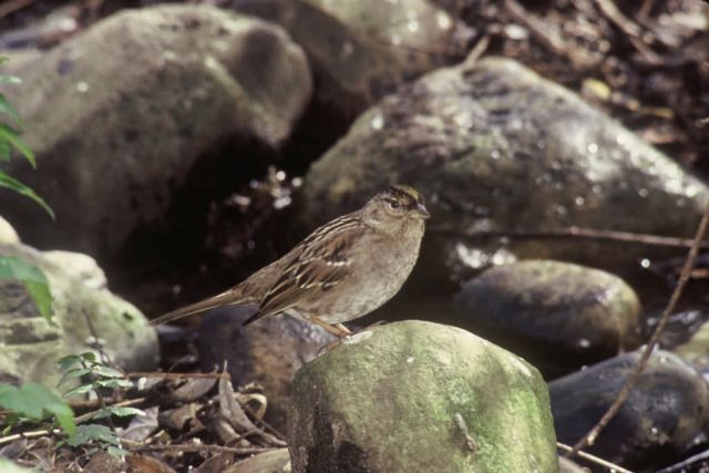 Golden-crowned Sparrow Picture