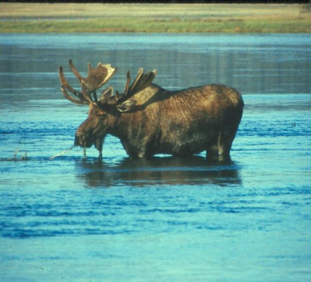 WO3868 Moose Picture