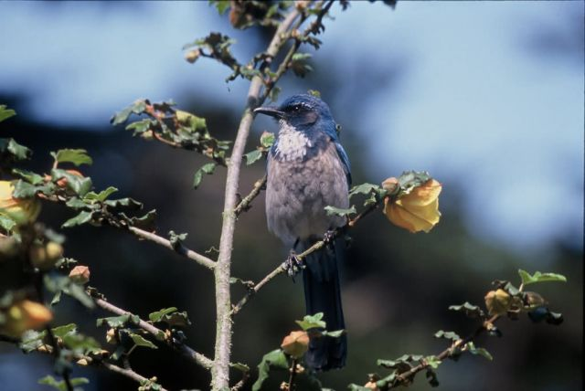 Scrub Jay,Western Picture
