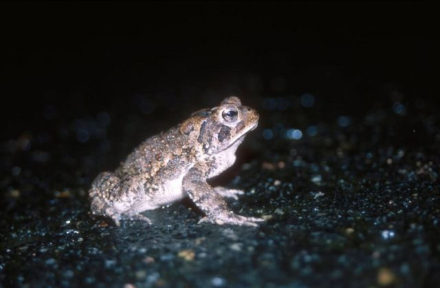 Fowler's Toad (Bufo fowleri) Picture