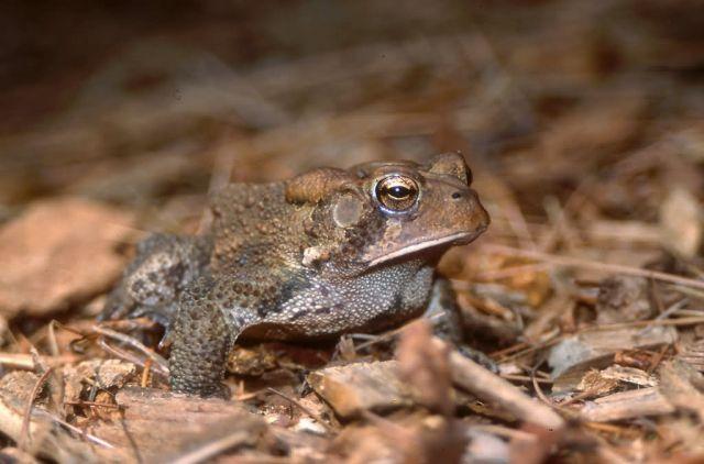 American Toad (Bufo americanus) Picture