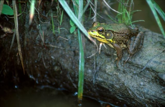 Green Frog (Rana clamitans) Picture