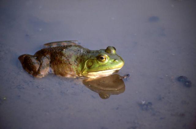 Bullfrog (Rana catesbeiana) Picture