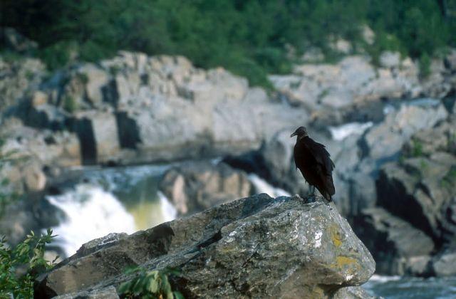 Black Vulture (Coragyps atratus) Picture