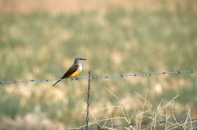 Western Kingbird (Tyrannus verticalis) Picture