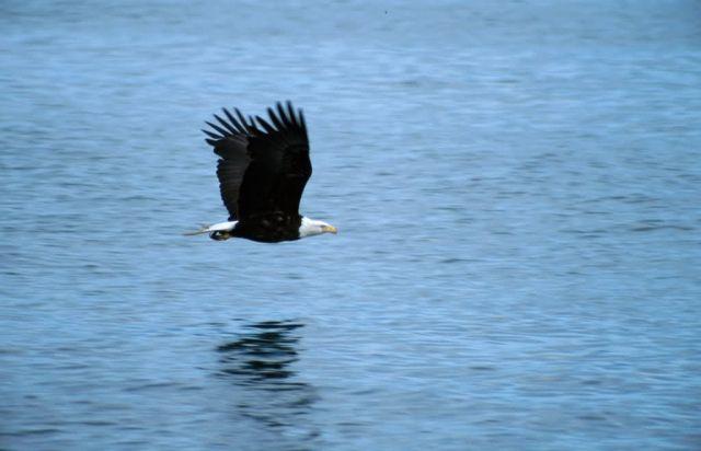 Bald Eagle (Haliaeetus leucocephalus) Picture