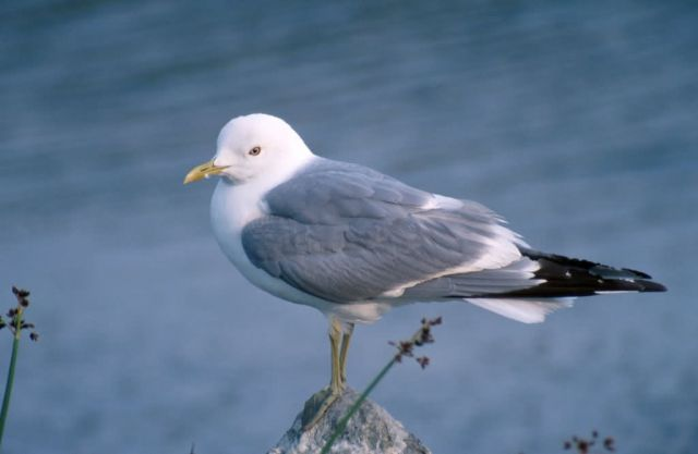 Mew Gull (Larus canus) Picture