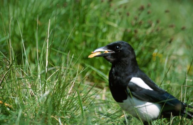 Black-billed Magpie (Pica pica) Picture
