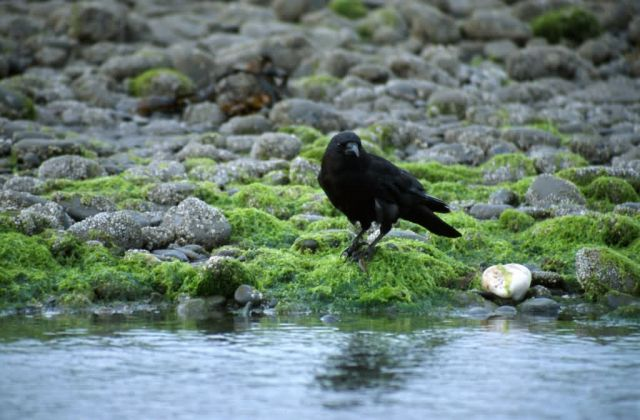 Crow (Corvus caurinus) Picture
