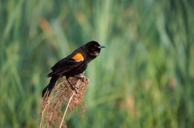 Red-winged Blackbird (Agelaius phoeniceus) Picture