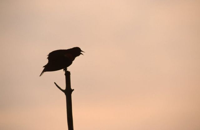 Red-winged Blackbird (Agelaius phoeniceus) Picture