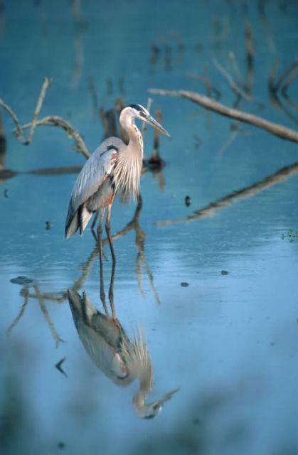 Great Blue Heron (Ardea herodias) Picture