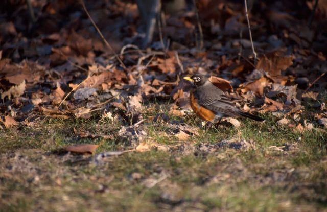 American Robin (Turdus migratorius) Picture