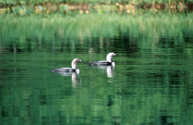 Pacific Loon (Gavia pacifica) Picture