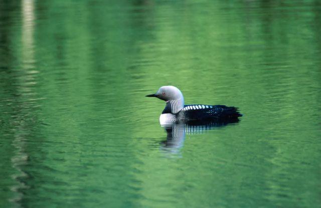 Pacific Loon (Gavia pacifica) Picture