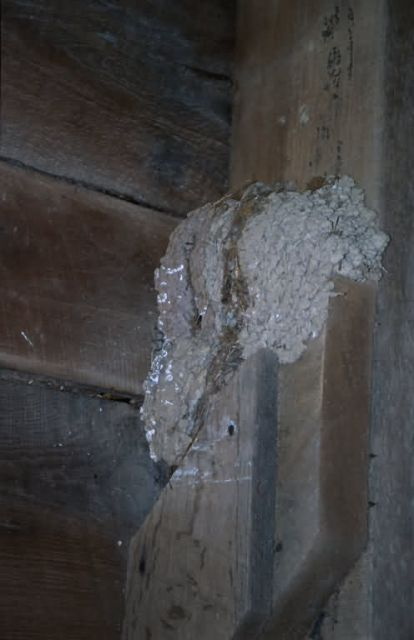 Barn Swallow Nest Picture