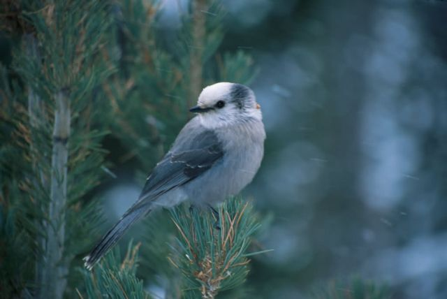 Gray Jay (Perisoreus canadensis) Picture