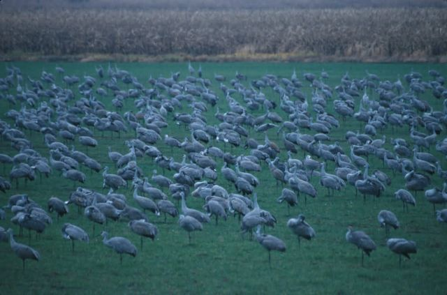 Sandhill Cranes (Grus canadensis) Picture