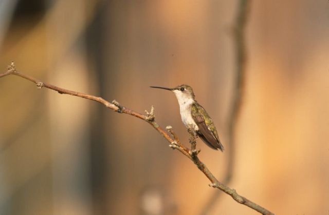 Ruby-throated Hummingbird (Archilochus colubris) Picture