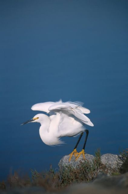 Snowy Egret (Egretta thula) Picture