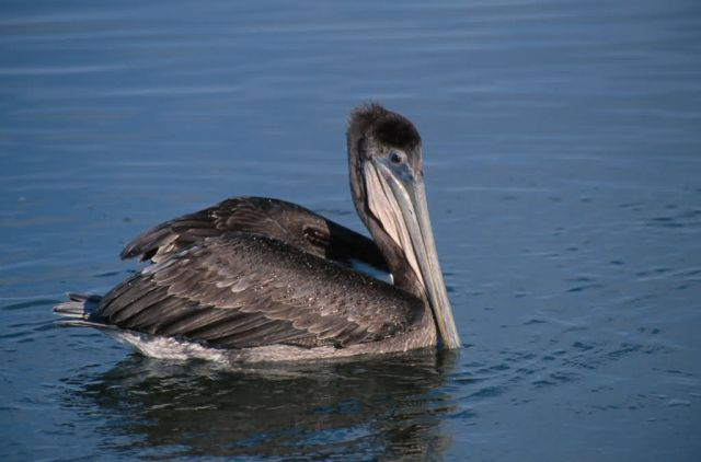 Brown Pelican (Pelecanus occidentalis) Picture