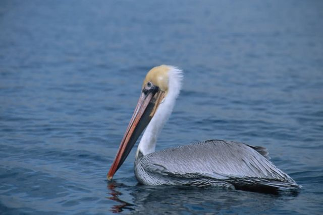 Brown Pelican with Fishhook Caught in Bill Picture