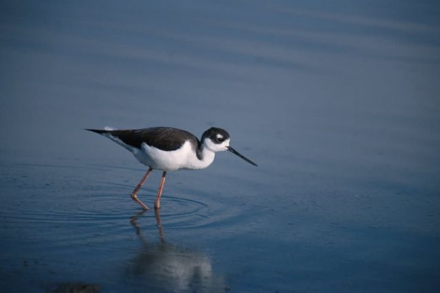 Black-necked Stilt (Himantopus mexicanus) Picture