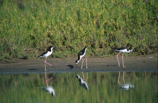 Black-necked Stilt (Himantopus mexicanus) Picture