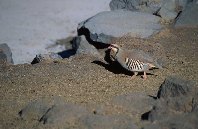 Chukar (Alectoris chukar) Picture