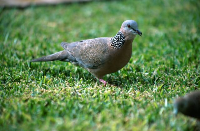 Spotted Dove (Streptopelia chinensis) Picture