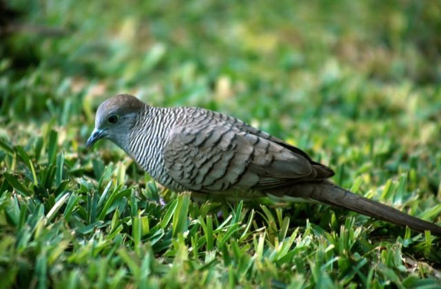 Zebra Dove (Geopelia striata) Picture