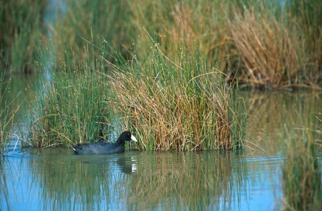 Hawaiian Coot (Fulica alai) Picture