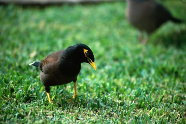 Common Myna (Acridotheres tristis) Picture