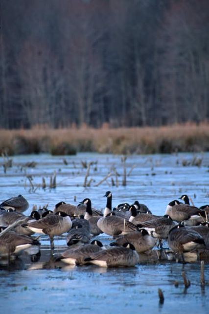 Canada Geese (Branta canadensis) Picture