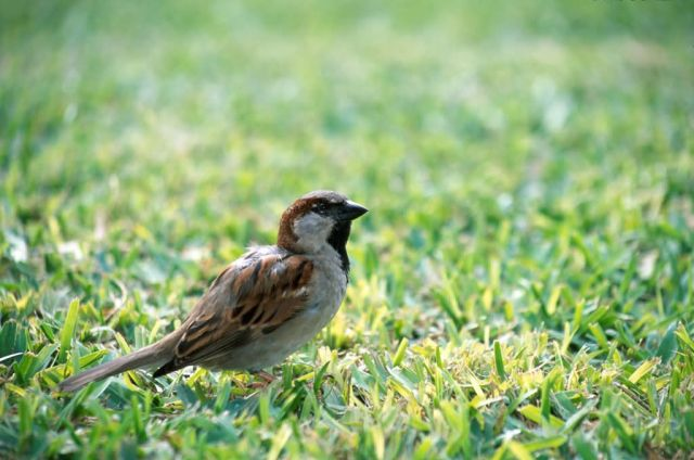 House Sparrow (Passer domesticus) Picture