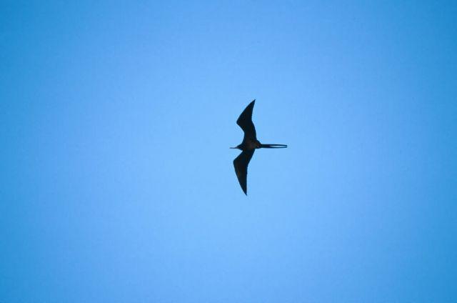 Magnificent Frigatebird (Fregata magnificens) Picture
