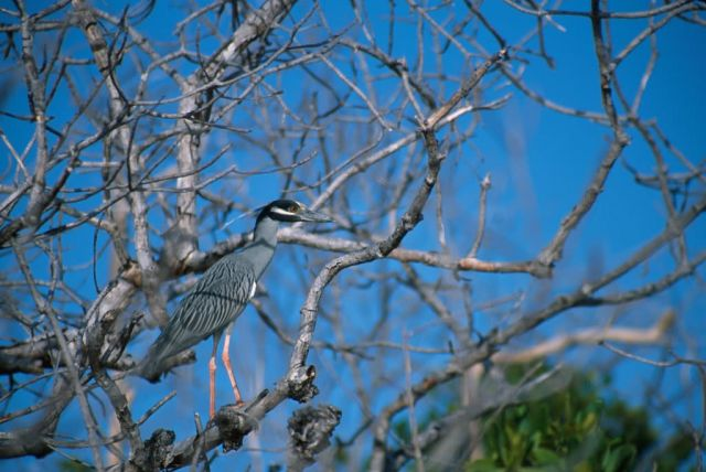 Black-crowned Night-heron (Nycticorax nycticorax) Picture