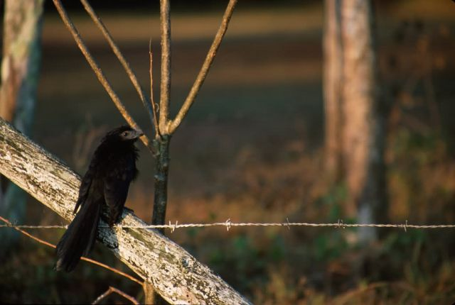 Smooth-billed Ani (Crotophaga ani) Picture