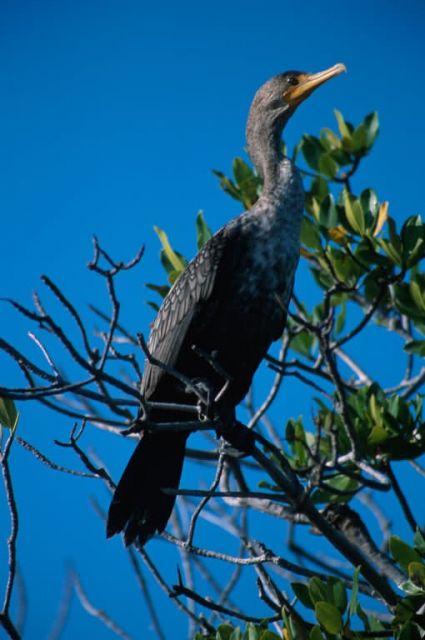 Double-crested Cormorant (Phalacrocorax auritus) Picture