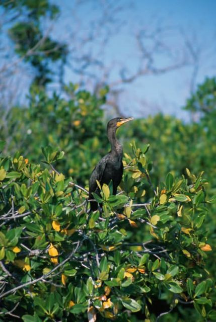 Double-crested Cormorant (Phalacrocorax auritus) Picture