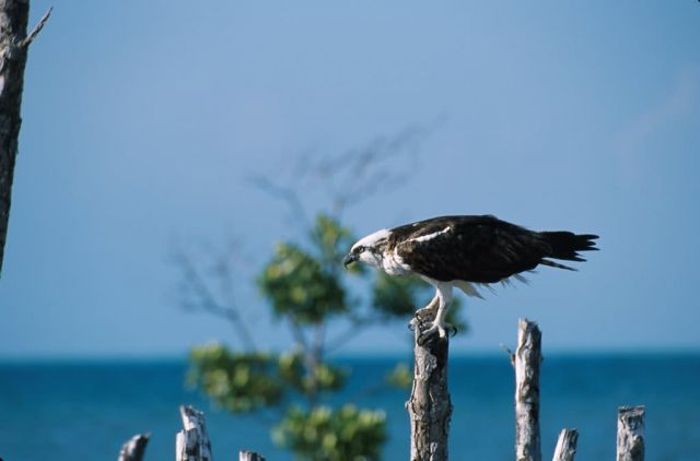 Osprey (Pandion haliaetus) Picture