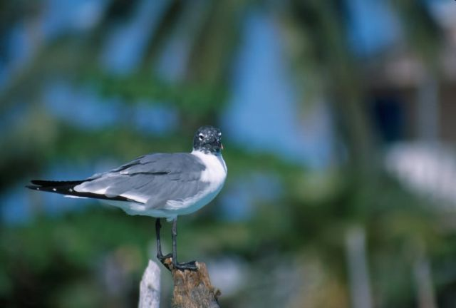 Laughing Gull (Larus atricilla) Picture